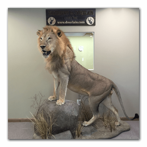 lion taxidermy